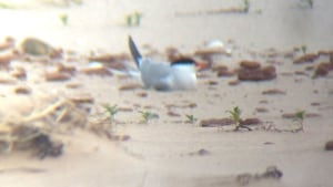 Tern on beach