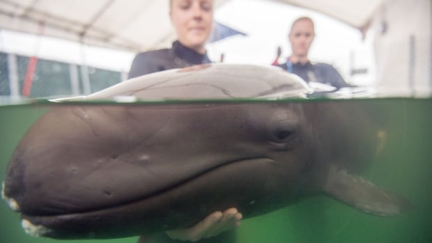 Staff at the Vancouver Aquarium Marine Mammal Rescue Centre hold a false killer whale calf rescued near Tofino, B.C., on July 10. False killer whales are a species of oceanic dolphins, rarely sighted in B.C. waters.