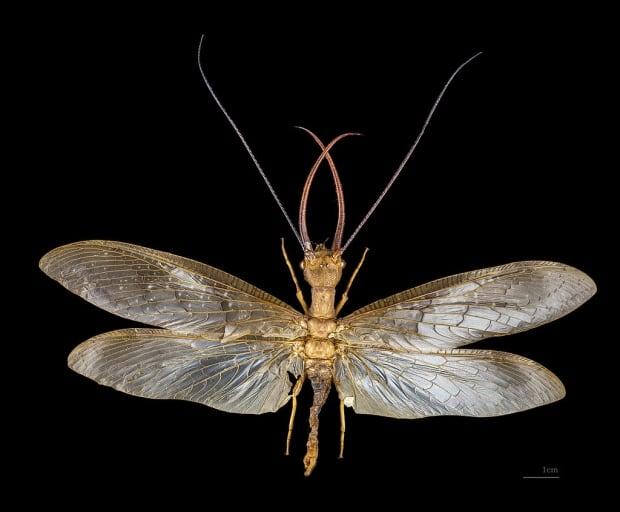 Eastern dobsonfly Corydalis cornutus
