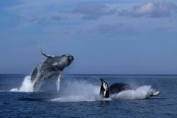 double whale breach Bay Bulls