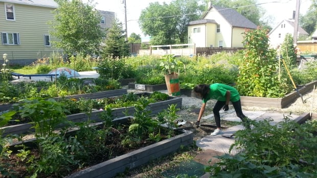 Winnipeg now has 234 community garden plots. About 20 of them were hit by produce thieves in 2017, city naturalist Rodney Penner said.