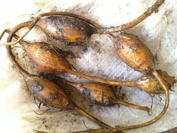 Wild potato or groundnut (Apios americana)