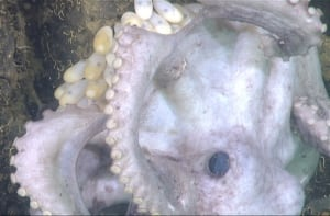 Octopus mom brooding eggs