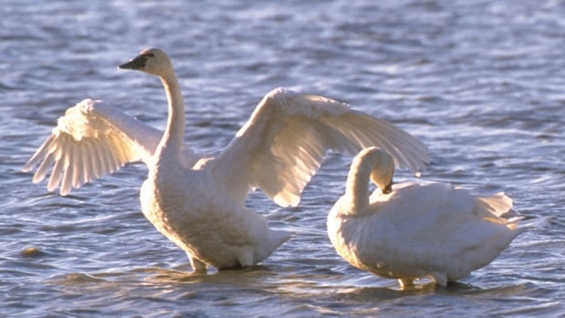 The Trumpeter Swan has been removed from Alberta's at-risk species list, say officials.