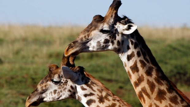 Giraffes are shown on an African reserve in this file photo.