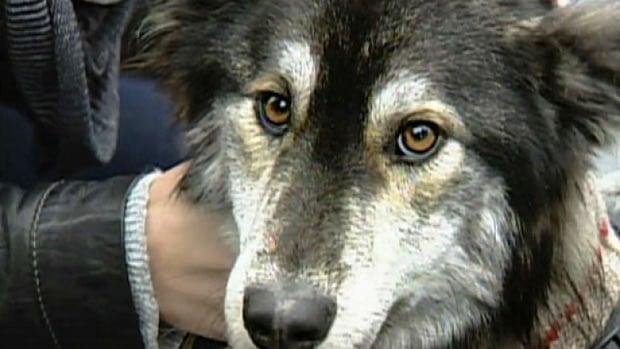Rupert Wilson has been handed a three year conditional prison term for animal cruelty shepherd-cross dog Molly was found near Port Hardy emaciated and near death.