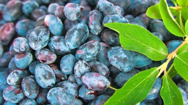 Haskap berries are grown at Boreal Berry Farm and Winery east of Sudbury.
