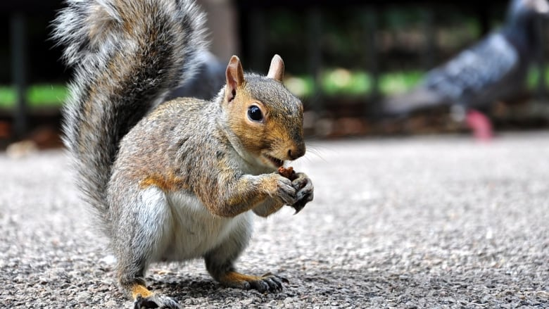 Pleasant Pregnant Squirrel Trashes Couples Montreal Home Cbc News Download Free Architecture Designs Photstoregrimeyleaguecom