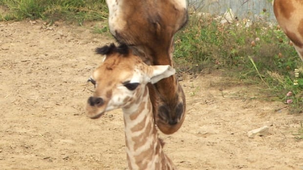 The unnamed baby giraffe was born a week ago at Parc Safari, located 70 kilometres from Montreal.