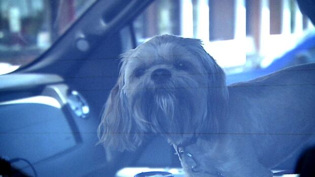 The P.E.I. Humane Society responds to calls about dogs locked in hot cars almost every day in summer.