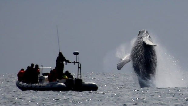 A group of scouts attending a national jamboree were treated to a breathtaking humpback whale breach this week in the Trinity area.