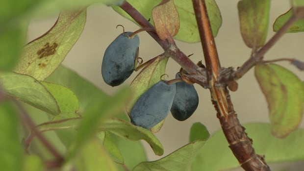 The Haskap berry is significantly boosting fruit production in Yukon.