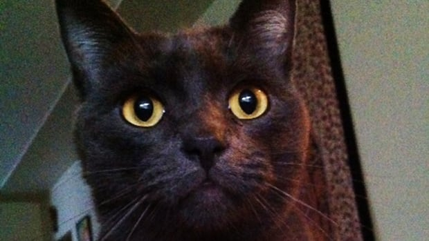 Smokey, a seven-year-old Russian Blue cat, was found last week hanging by his collar from a pole.
