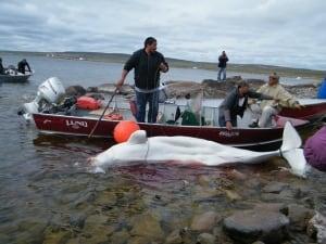 Baker Lake's beluga hunt
