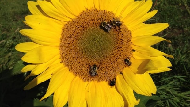 "A bee-friendly garden includes ""flowers that bees like better than others, but [also] … any flowers planted in groupings, [and] flowers that are brightly coloured,"" a Thunder Bay gardening expert says."