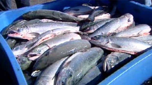 Fisheries and Oceans Canada has estimated this year's sockeye run could see as many as 23 million salmon return to the Fraser River.