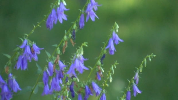 creeping bell flower