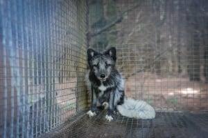 SPCA fur farm