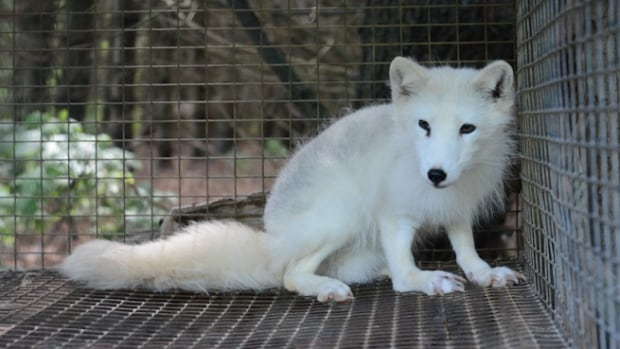 Inspectors seized 16 Arctic foxes among 91 foxes found on the farm.