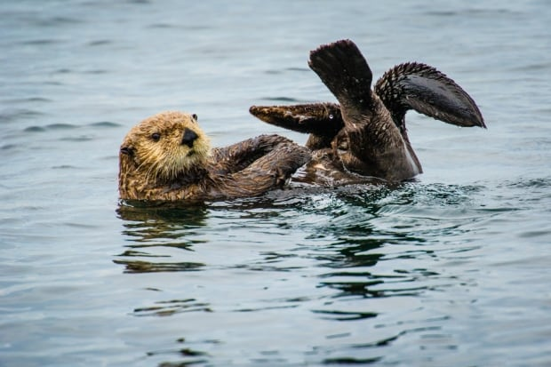 Sea otter encounter off Ten Mile Point, Aug. 14, 2014