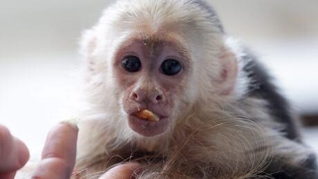 Germany Justin Bieber Monkey