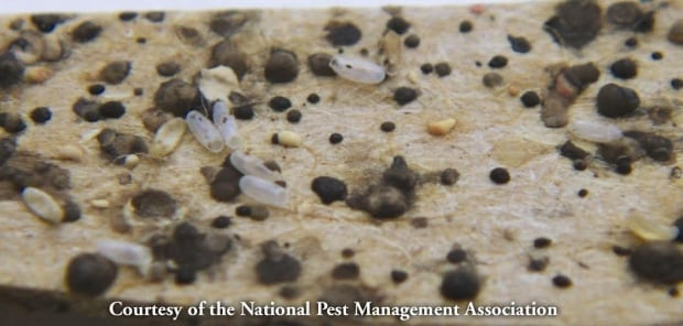 bedbug waste