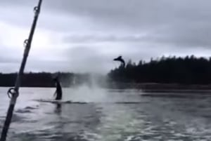 Killer whale tosses sea lion into air