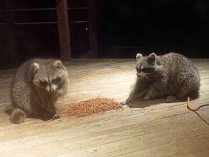 Raccoon feast