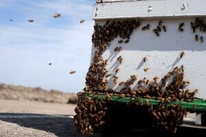 California Drought Honeybees