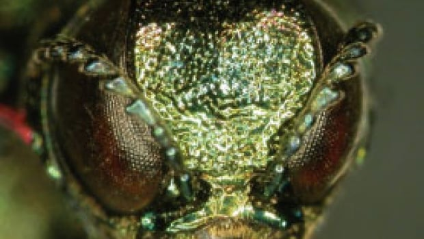These small, emerald beetles began causing serious problems in Quebec since it was discovered in Carignan, on Montreal's South Shore, in 2008.