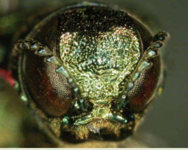 The face of an emerald ash borer