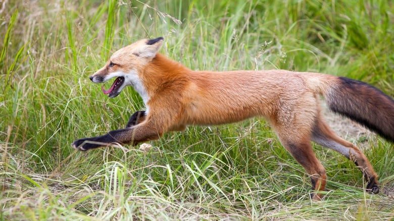 Deadly 'fox' tapeworm found in Ontario can kill dogs and