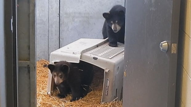 Two bear cubs who were orphaned in July after their mother was shot and killed by wildlife officers in a Whitehorse neighbourhood were temporarily housed at the Yukon Wildlife Preserve until a permanent home could be found for them.
