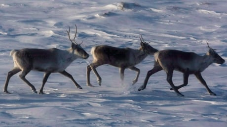 Caribou Count 20140316