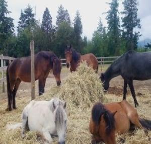 Newfoundland ponies