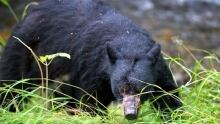 Black bear