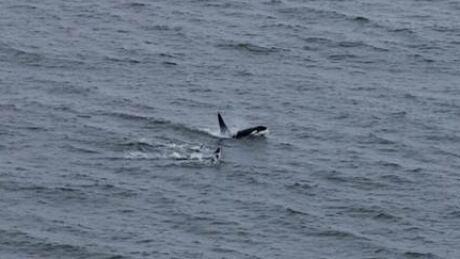 Churchill Orcas