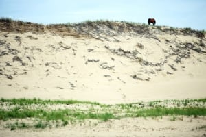 Sable Island horse on dune