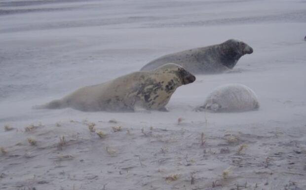 Sable Island seals in winter