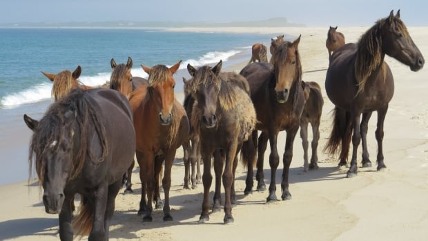 Sable Island is home to hundreds of namesake horses that have become synonymous with its romantic and untamed image.