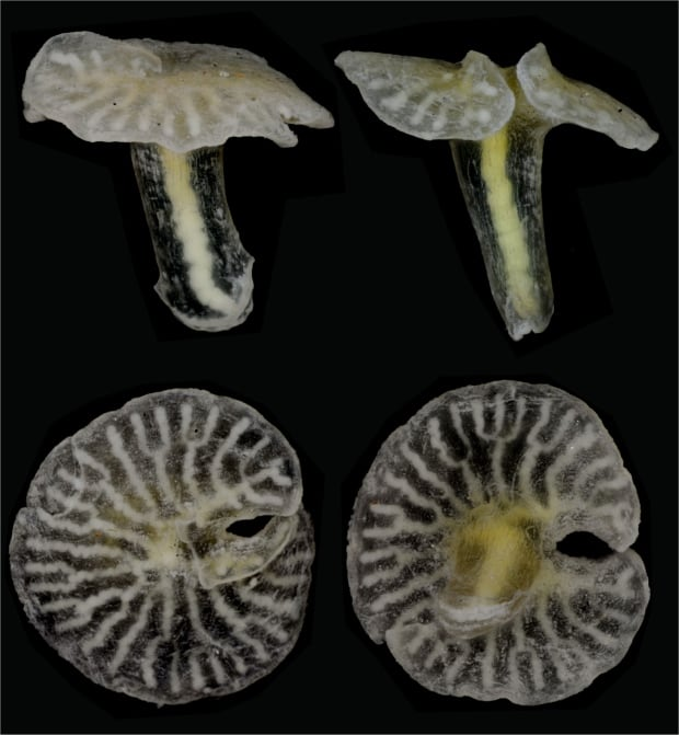 Deep-sea mushroom-shaped animal Dendrogramma