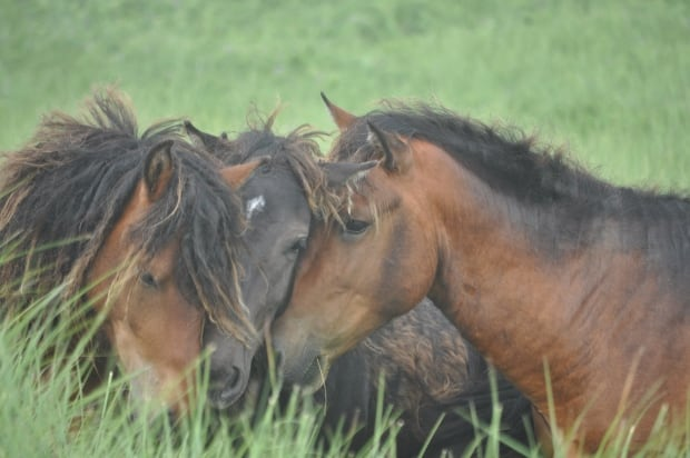 Sable Island horses greet each other