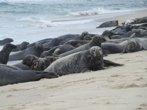 Sable Island grey seals