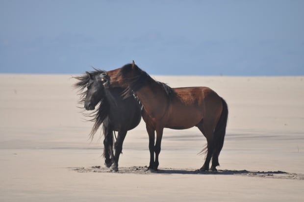 Sable Horses horses greet each other
