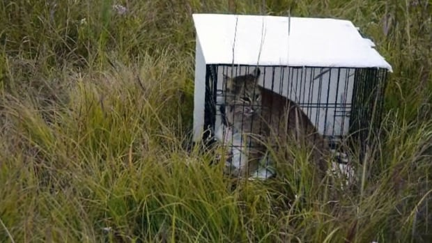 Amira, a rescued and rehabilitated bobcat, was released back into the wild in Manitoba on Thursday.
