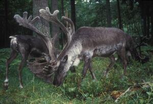 Woodland caribou B.C.