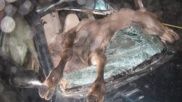 Firefighter Jamie Budden says more needs to be done to control the moose population and reduce the number of moose-vehicle accidents on the highways in Newfoundland and Labrador. This photo was taken after a collision near Whitbourne last year.