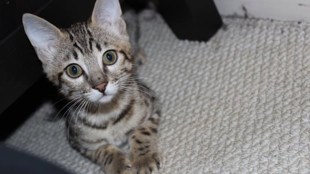 Cleo, a Savannah cat, survived a leap from a 17th-floor balcony.