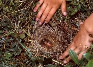 Sparrow nest on Sable Island