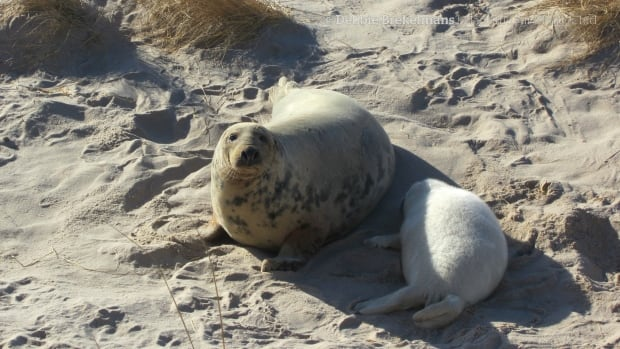 Sable Island is the largest breeding ground in Canada for grey seals, where more than 50,000 pups are born each year.